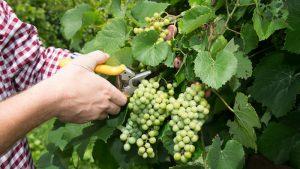 19288-9120-grape-700394
