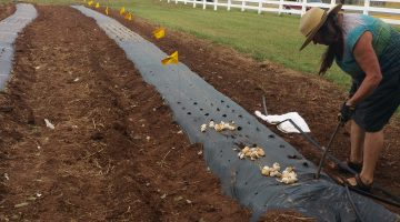 Determining how to get the best garlic yield