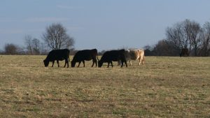 Making beef cattle grazing practices better