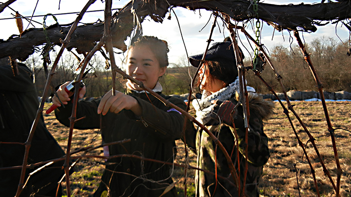 Two international students pruning grapevines.