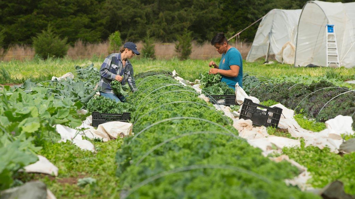 Farmers harvest at Millsap Farms