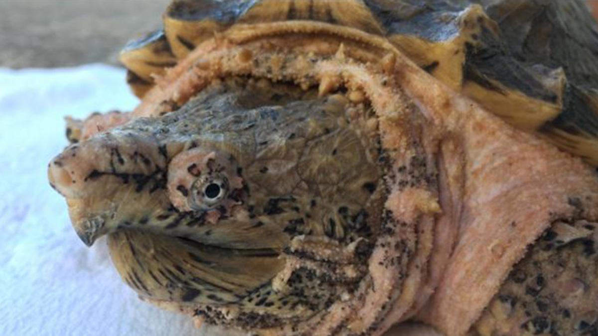 'Pinkie' turtle