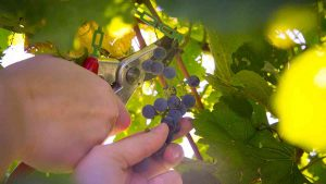 Grapes clipped from vine