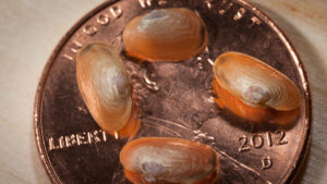 freshwater_mussels