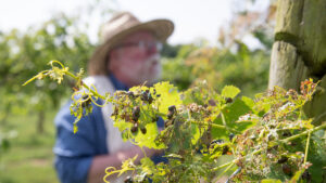 Japanese beetles coat the grapevine