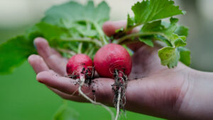 A hand holding some freshly harvested vegetables.