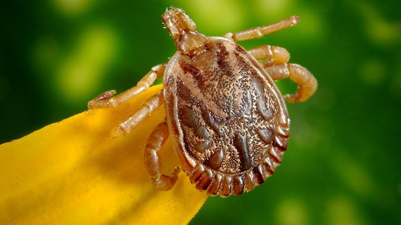 A brown tick.